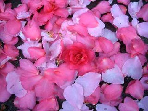 垣根の山茶花が咲き始めた