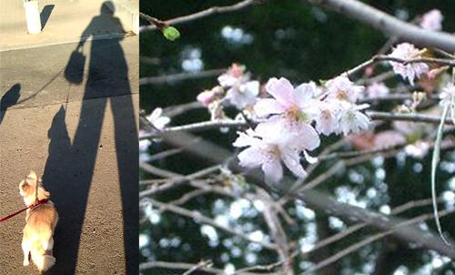 チワワとトイプードルとの今朝の散歩風景と、近所の冬桜。